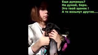 Продам шоколадно кофейных щенков таксы  15 02 2018 дня рождения, Санкт Петербург