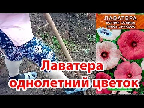 Как посадить Лаватеру семенами в открытый грунт |Богиня Солнца|Однолетнее растение|