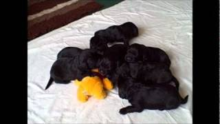 Cavador Puppies Two And Half Weeks Old