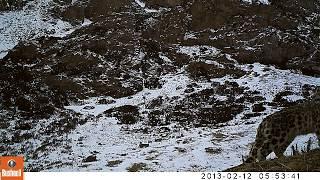 Снежный барс, видео с фотоловушек АСБК