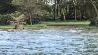 Hipopotam otwiera paszczę - Lake Naivasha National Park- Kenia - Afryka