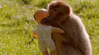 What is a monkeys favourite toy? - Horizon: Is your Brain Male or Female - BBC Two