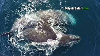 drone films handicapped whale getting romantic for two days off dana point as whale watchers look on
