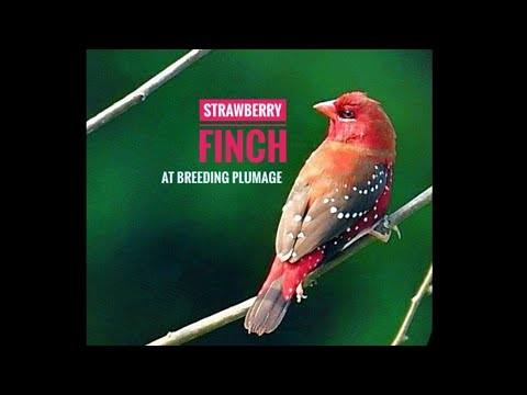 Strawberry Finch At The Breeding Plumage Red Avadavat Tiger Finch Red Munia Amandava Youtube