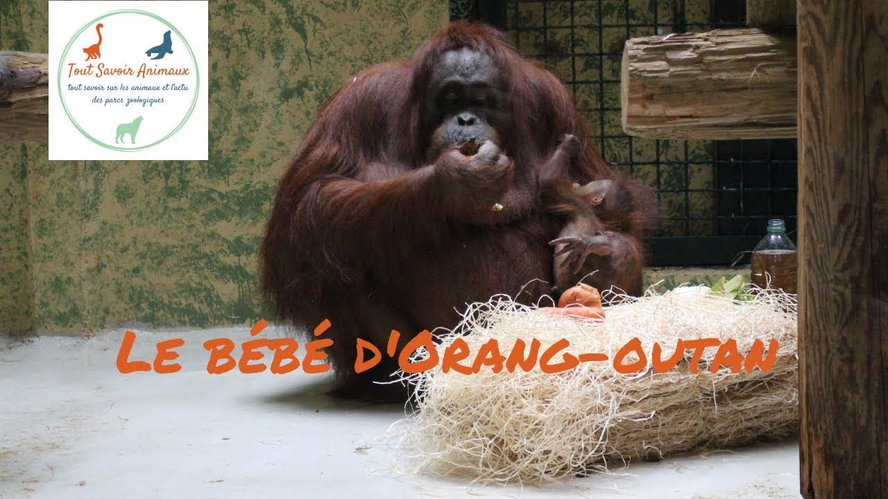 9e7d75cc738a9 Le bébé Orang-outan de la Ménagerie du jardin des plantes - TSA ...