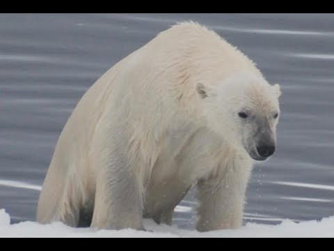 Arctic Cruise Trip - Polar Bears!!!