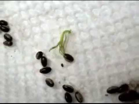 walking stick insect hatching youtube