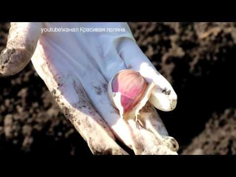 Что можно сажать после чеснока на огороде? Что посадить