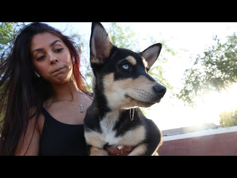 Buying A German Shepherd husky Mix Puppy!
