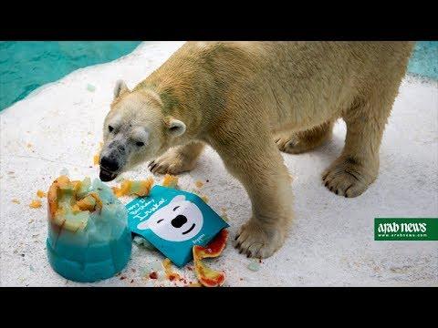 Singapore Zoo's elderly polar bear celebrates his 27th birthday