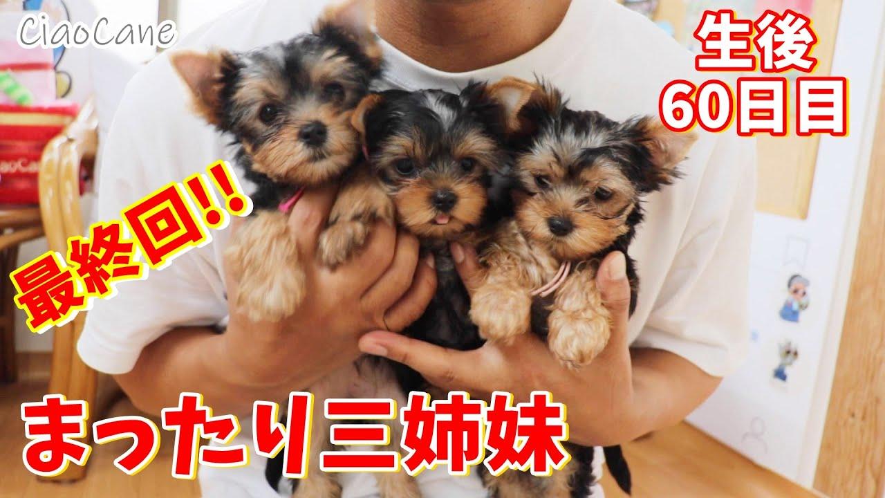2020年6月9日生まれホップの三つ子ちゃん(生後60日目)【ヨークシャーテリア専門犬舎チャオカーネ】