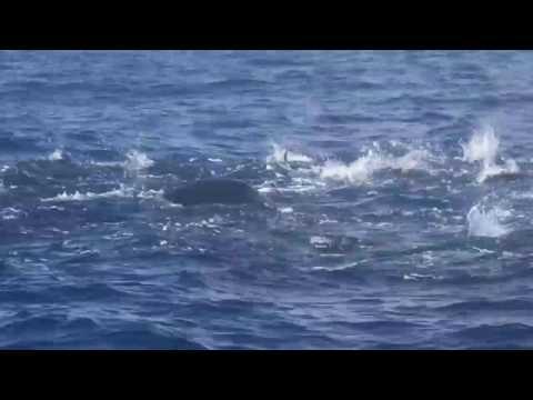 Deckhand videos whale shark just off Louisiana coast