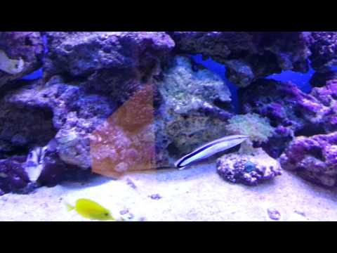 cleaning wrasse can help white spot