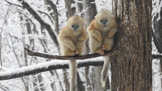 Chinese scientists discover golden snub-nosed monkeys build up fat reserves to get through winter