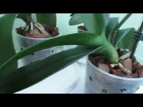Мой уход за орхидеями фаленопсис