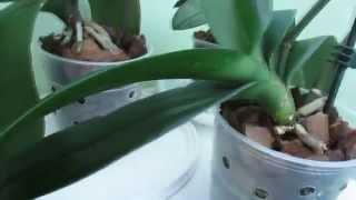Мой уход за орхидеями фаленопсис(Ссылка на мою партнерскую программу http://join.air.io/tati., 2014-08-13T09:22:40.000Z)