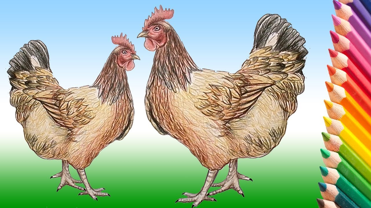 how to draw a realistic chicken step by step
