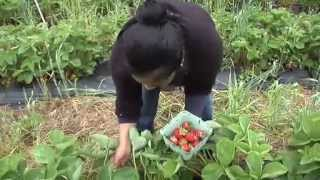 New Jersey Strawberry Crop Ripe Two Weeks Early