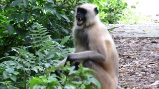 Angry Langur  Monkey SOUNDS