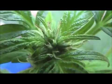 how to get female weed plants