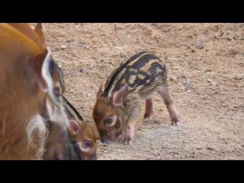 Thumbnail: Red River Hog Babies at the Houston Zoo
