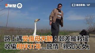 郵差遇受傷母天鵝暖救援收編 相伴37年「親如父女」|寵物|女鵝|土耳其