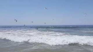 Seagull feeding frenzy at Fonte da Telha beach