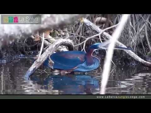 Agami Heron - La Selva Amazon Ecolodge & Spa - Ecuadorian Amazon