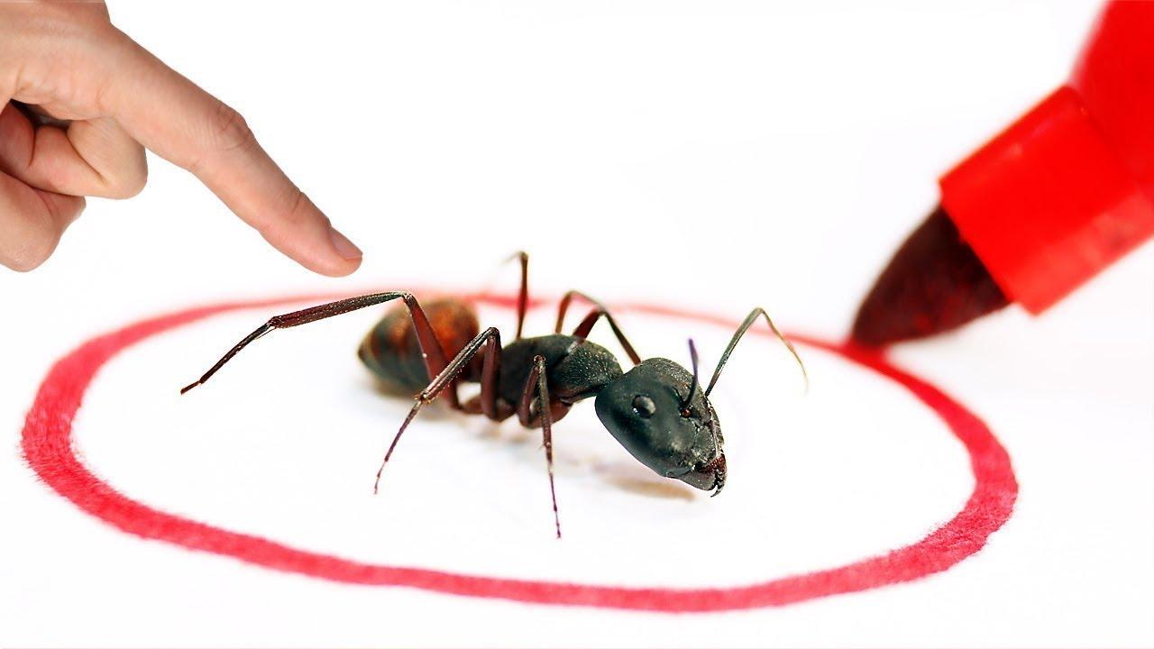 النمل الانتحاري المتفجر    يفجّر نفسه عند  الخطر !