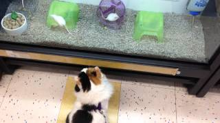 Adelaide the Siberian cat trying to catch a mouse at Petco