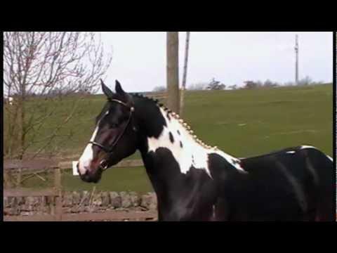 Barcutan Zulu Chief - homozygous coloured stallion UK