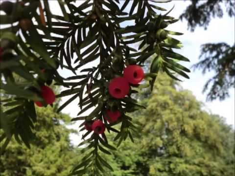 Wild Food : Yew(Taxus baccata)