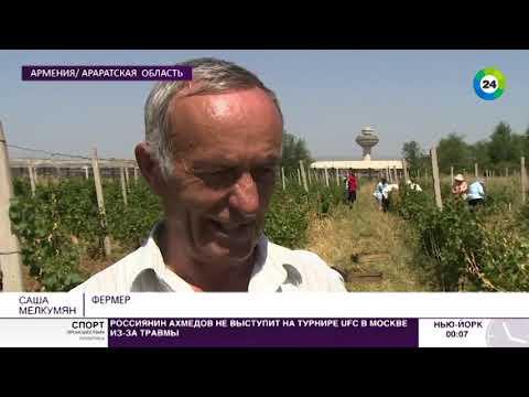 Армянский виноград. В Армении открылся сезон виноделья.