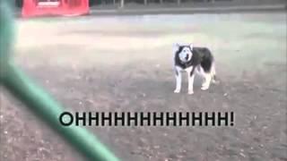 Husky se recusando a sair do parquinho