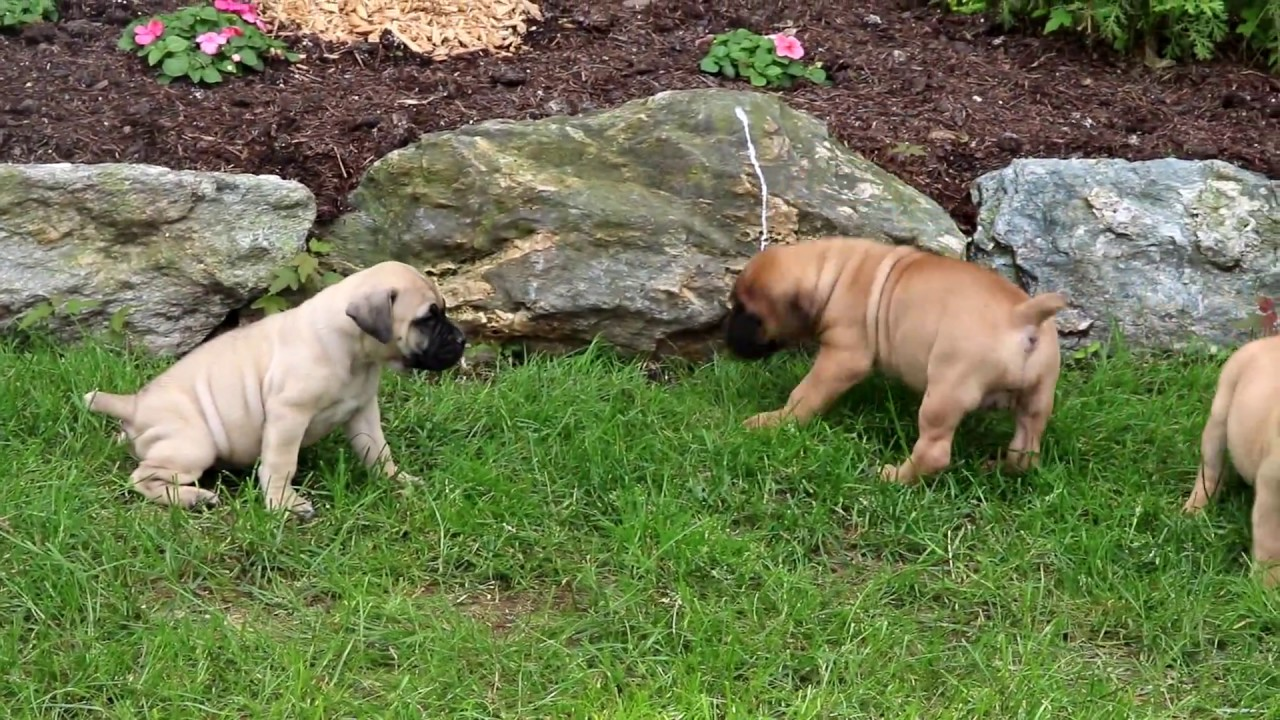 Tinkerbell | Boerboel - South African Puppy For Sale