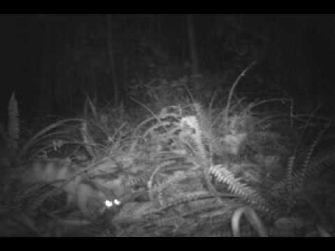 Banded palm civet (Hemigalus derbyanus)