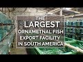 Into the Amazon - The Largest Ornamental Fish Export Facility in South America - Episode 2