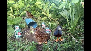 Awesome Quick Bird Trap Using Carabao Cans & Teeter PVC |  Making survival trapping work 100%