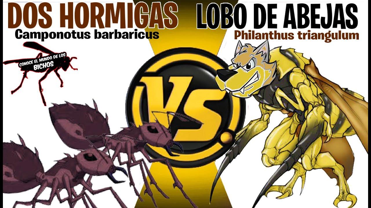 LOBO DE ABEJAS VS DOS HORMIGAS CAMPONOTUS | +ACRE
