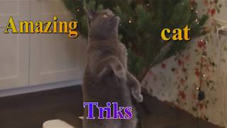Amazing cat triks by british shorthair Alice!