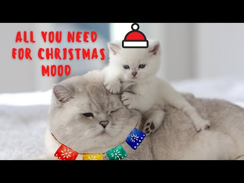 Cats and boxes are best friends. British shorthair family is getting into Christmas mood