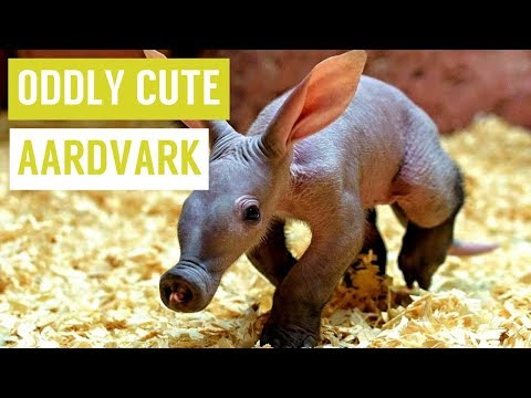 Baby AARDVARK are Oddly Cute Compilation!