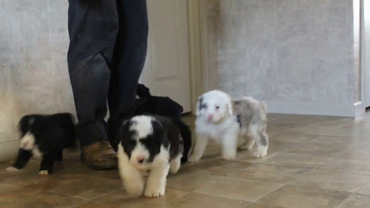 Mini Sheepadoodle Puppies For Sale