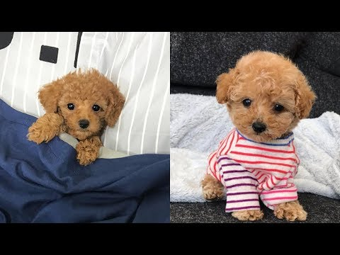 Cute Toy Poodles, Mini Poodle Puppies Video Compilation