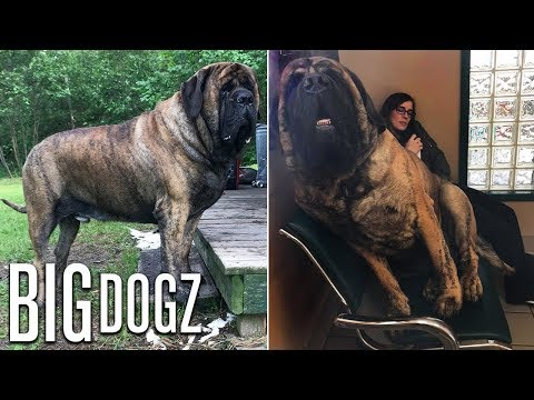 Our GIANT 250lb Mastiff Is Built Like A Wrestler | BIG DOGZ