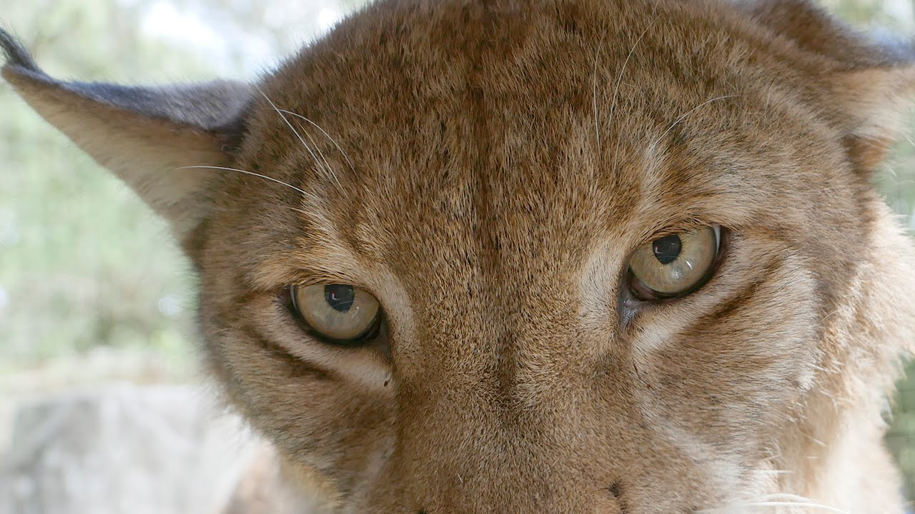 Apollo the Siberian Lynx goes home
