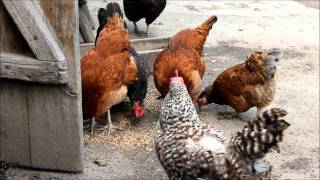 Kurczaki, Kury i Koguty