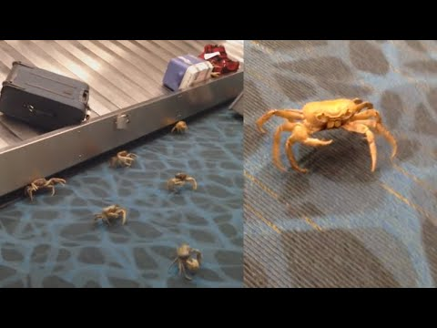 Crabs Take Over Airport