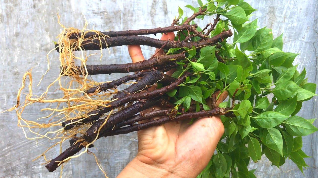 Cách giâm cành hoa giấy ra rễ cực nhiều | Bougainvillea