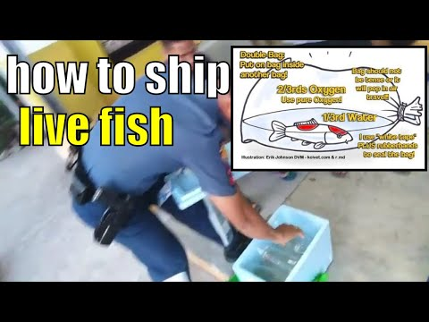how to ship live fish Securely  Tested Survival That never fails!